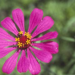 Zinnia flower, 6 km west of Teloloapan