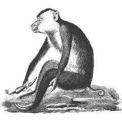 Northern Pig-Tailed Macaque Print