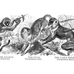 The White-Nosed Monkey, The Patas, and The Diana Monkey