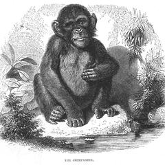 The Chimpanzee