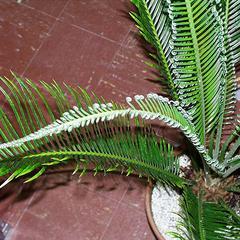 Young leaf of Cycas revoluta