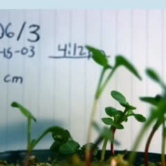 Phototropism - results from a lab exercise 25% light intensity - images integrated into a movie