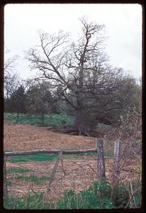 View of tree with roots exposed by erosion due to overgrazing