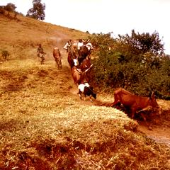 Children Herding Cows and Sheep near Bukavu in Kiva Province