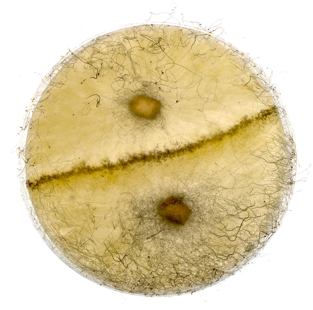 Sexual culture of Phycomyces