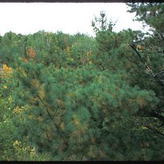 Pines, hardwoods in fall, Hanson Property