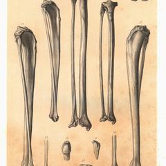 1. Propithecus diadema, 2. Propithecus verreauxii