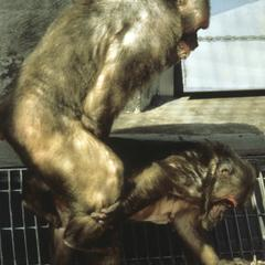 Macaca arctoides
