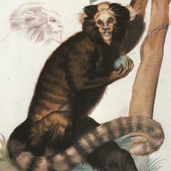 Seated Marmoset Print
