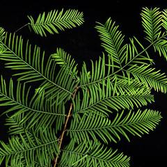 Leafy branch of dawn redwood