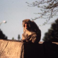 Macaca fuscata