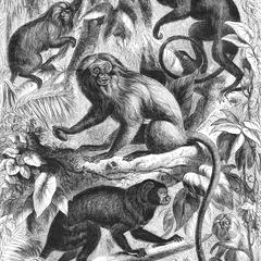 The Silky Tamarin and Other Monkeys