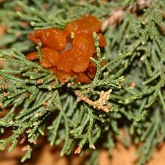 Cedar apple rust - infection on juniper