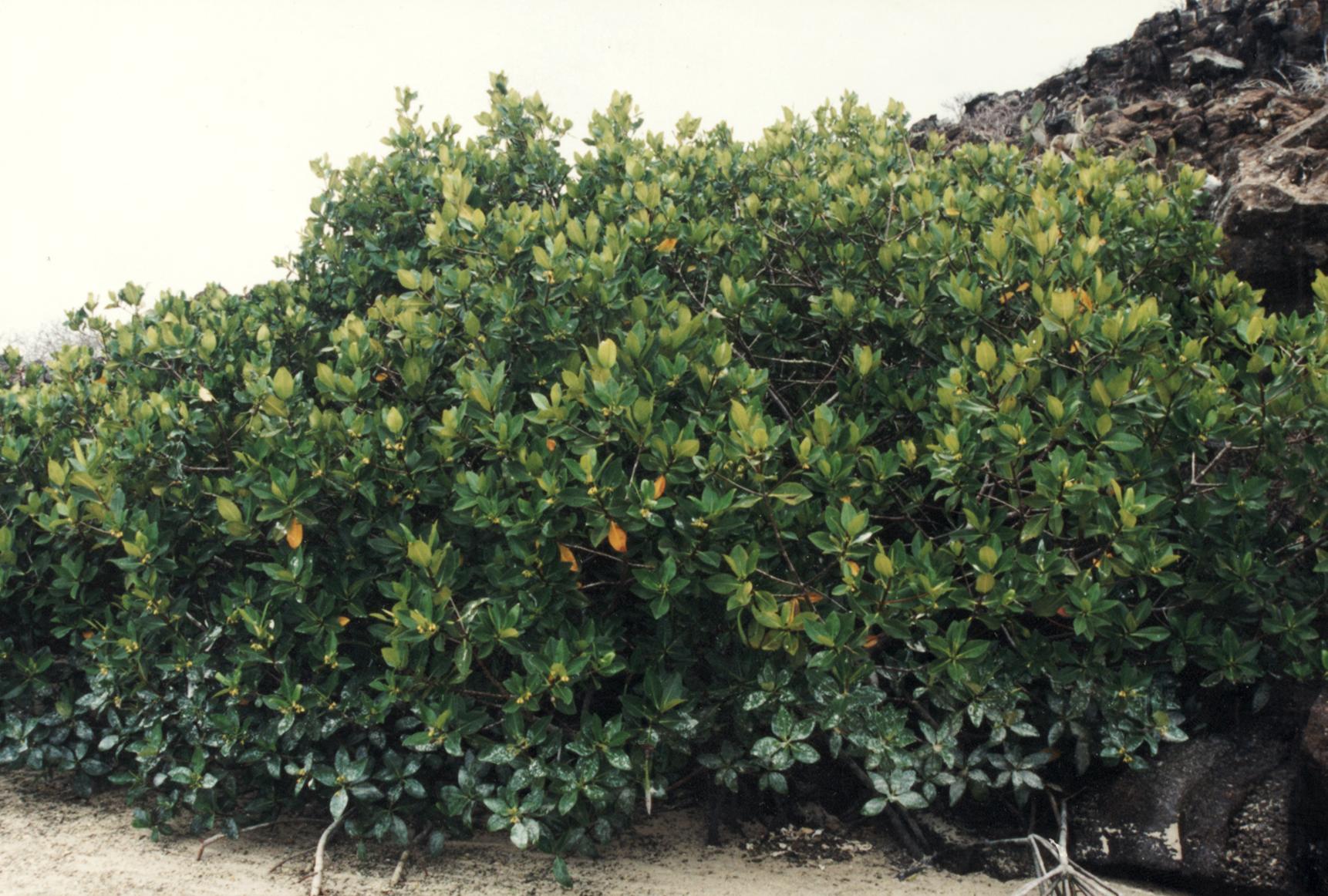 Button Mangrove (Conocarpus erectus)