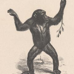 Erwachsener weiblicher Chimpanse