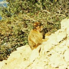 Macaca thibetana