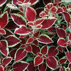 Mass planting of Coleus