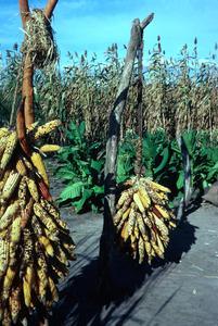 Corn, Tobacco, and Sorghum