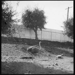 Ostrich with five eggs