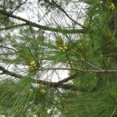 Clusters of male cones of white pine, Pinus strobus
