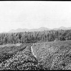 A tea field near Kioto [sic]