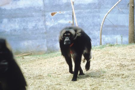 Theropithecus gelada