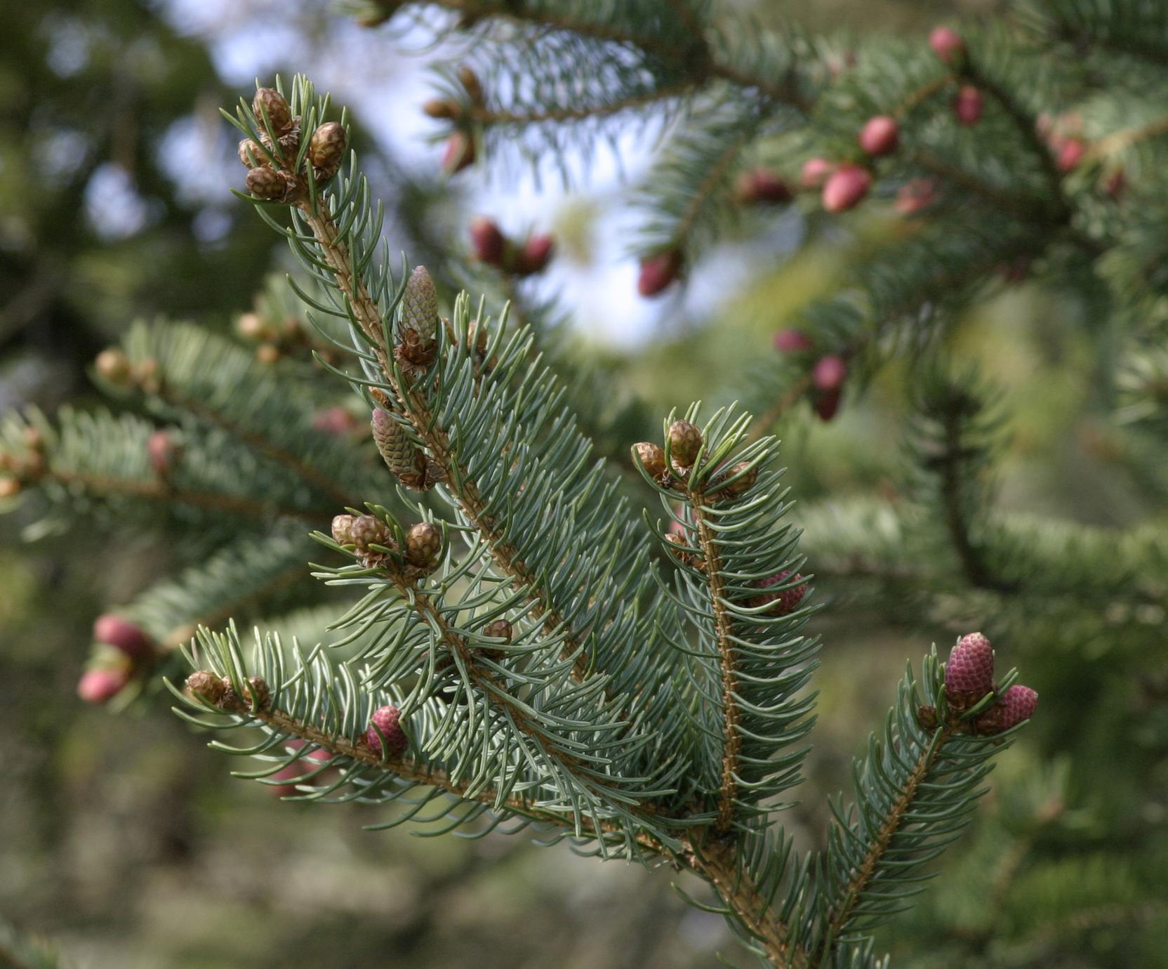 Bough with young ovulate cones and male cones of white spruce