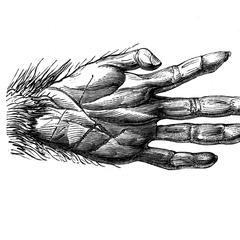 Main antérieure de lagothriche