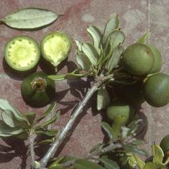 Jacquinia pubescens with fruit