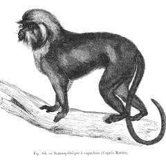 Semnopithèque à capuchon (d'après Martin)