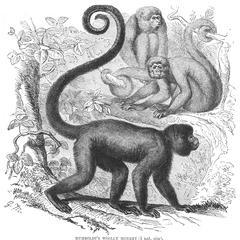 Humboldt's Woolly Monkey (1/6 nat. size)