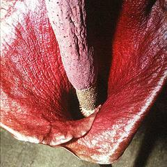 Inflorescence of Amorphophallus Konjak