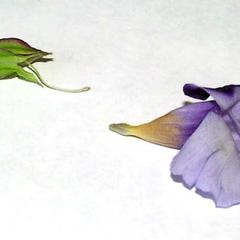 Calyx and corolla of Torenia