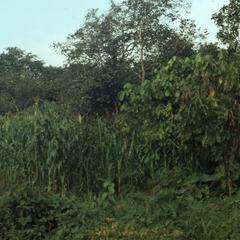 Oshogbo farm
