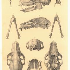 Lemur albimanus