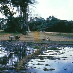Women Transplanting Rice near Bignona in the Casamance Region