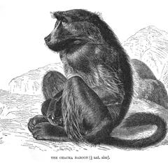 The Chacma Baboon (1/8 nat. size)
