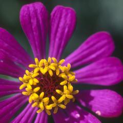 Zinnia flower, west of Teloloapan