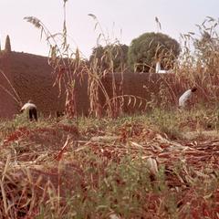 Harvesting Guinea-Corn (Sorghum)