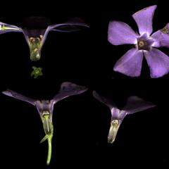 Dissected flowers of Vinca minor