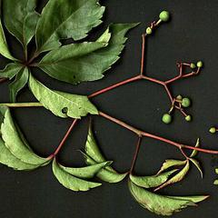 Branch with fruit of Parthenocissus quinquefolia