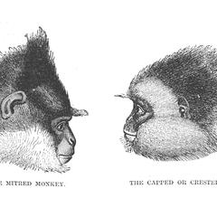 The Mitred Monkey and The Capped or Crested Monkey