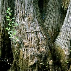 Bald Cypress tree with rat snake