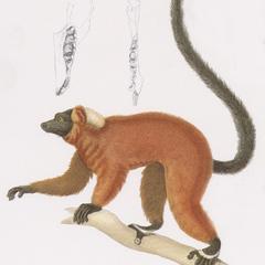 Red-Ruffed Lemur Print