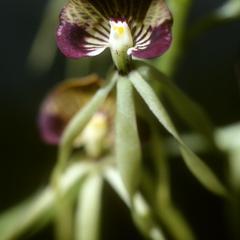 Epidendrum cochleatum orchid, from San Antonio Huista
