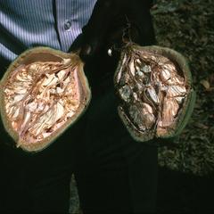 Opened Fruit from Baobab Tree