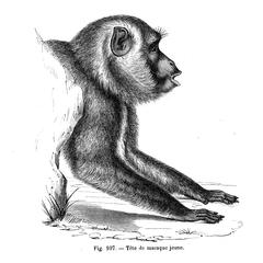 Tête de macaque jeune