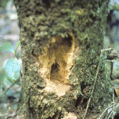 Daubentonia madagascariensis
