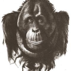 Mature Male Orang-outan