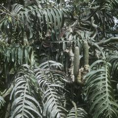 Philodendron in tropical rainforest